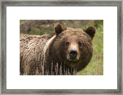 Grizzly Portrait Framed Print
