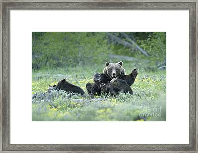 Grizzly Romp - Grand Teton Framed Print