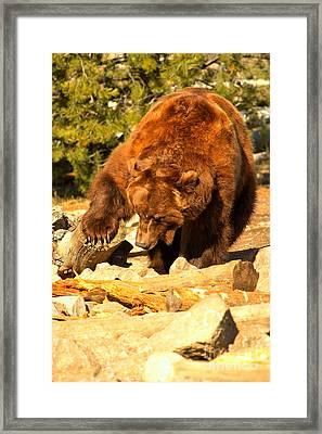 Grizzly Scavenging Framed Print by Adam Jewell