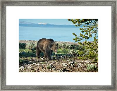 Grizzly Sow At Yellowstone Lake Framed Print by Sandra Bronstein