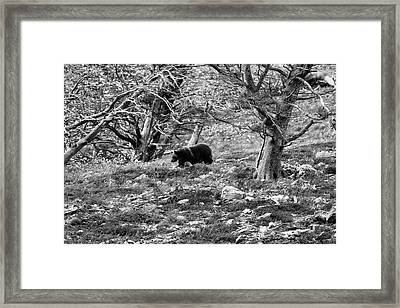 Grizzly Walking Through Dead Trees - Black And White Framed Print