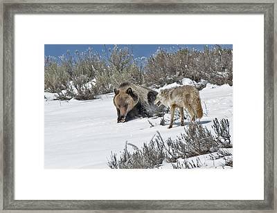 Grizzly With Coyote Framed Print
