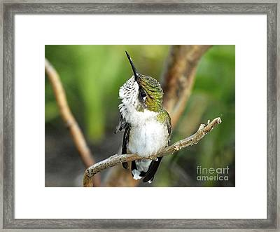 Grooming Hummer Framed Print by Cindy Treger