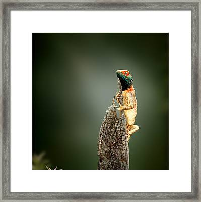Ground Agama Sunbathing Framed Print by Johan Swanepoel