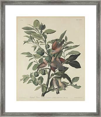 Ground Dove Framed Print by Anton Oreshkin