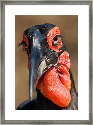 Ground Hornbill Framed Print by Basie Van Zyl
