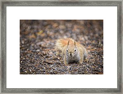 Ground Squirrel Chickaree Framed Print