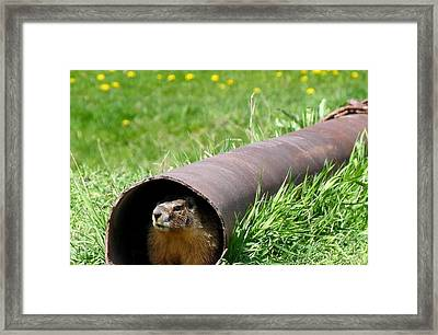 Groundhog In A Pipe Framed Print
