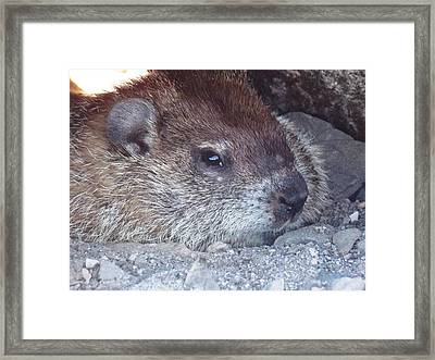 Groundhog Stare Framed Print by Nina Kindred