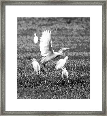 Group Hunt Bw Framed Print by Norman Johnson