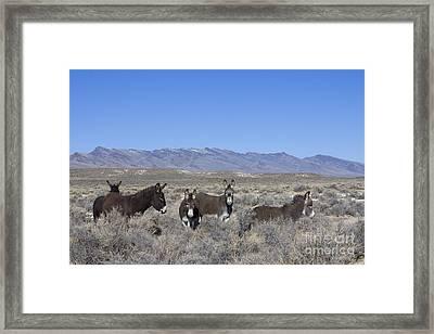 Group Of Burros In Nevada Framed Print