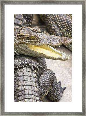Group Of Crocodiles Framed Print