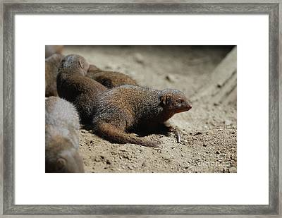 Group Of Dwarf Mongooses Digging Holes Framed Print