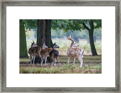Framed Print featuring the photograph Group Of Four Fallow Deer - Dama Dama - Startled By Something On T by Paul Farnfield