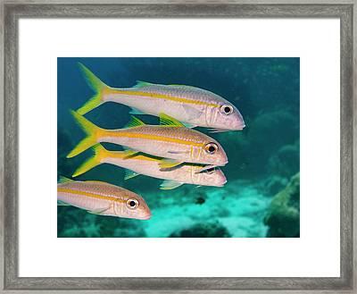 Group Of Goatfish Framed Print by Jean Noren