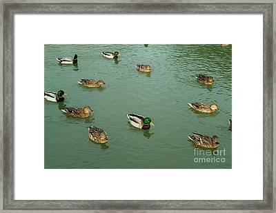 Group Of Male And Female Ducks On The Water Framed Print by Sami Sarkis