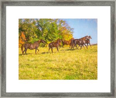 Group Of Morgan Horses Trotting Through Autumn Pasture. Framed Print