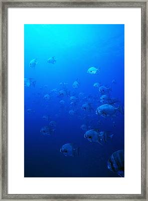 Group Of Pacific Spadefish Swimming Framed Print by James Forte