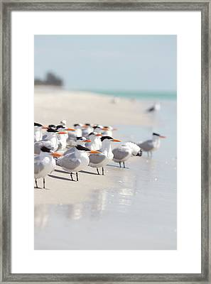 Group Of Terns On Sandy Beach Framed Print by Angela Auclair