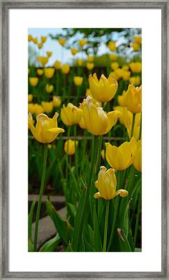 Grouping Of Yellow Tulips Framed Print