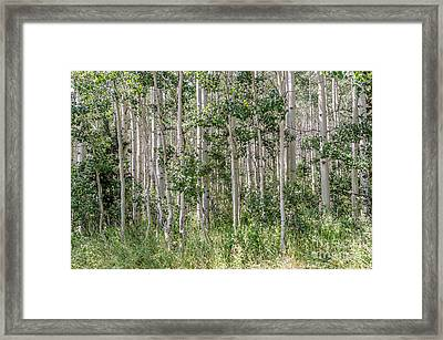 Grove Of Quaking Aspen Aka Quakies Framed Print