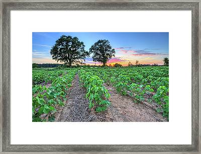 Growing Cotton Framed Print by JC Findley
