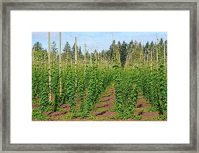 Growing Hops Framed Print