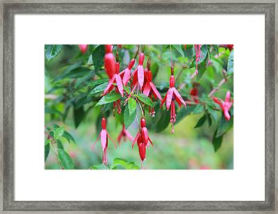 Framed Print featuring the photograph Growing In Red And Purple by Laddie Halupa