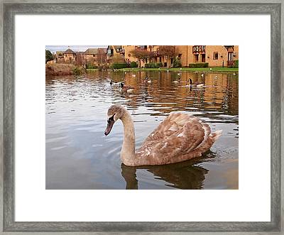 Growing Up On The River - Juvenile Mute Swan Framed Print by Gill Billington
