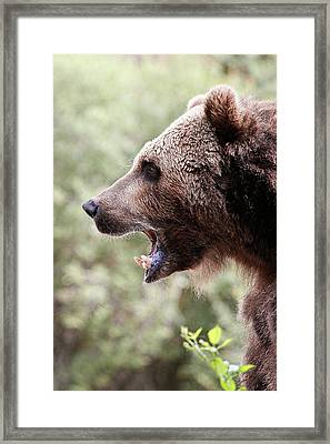 Growl Of The Grizzly Framed Print by Athena Mckinzie