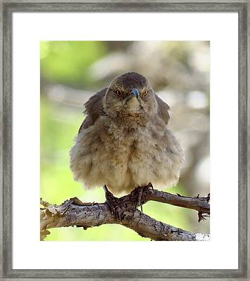 Grumpy Thrasher Framed Print