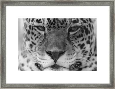 Grumpy Tiger  Framed Print