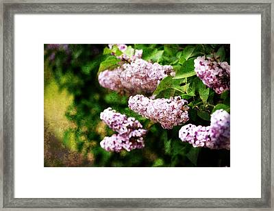 Grunge Lilacs Framed Print