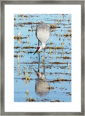 Grus Canadensis I Framed Print