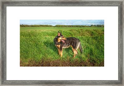 Gsd In The Country Framed Print by Isabella F Abbie Shores FRSA