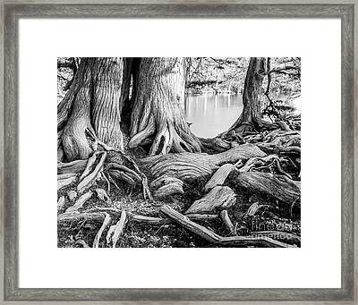 Guadalupe Bald Cypress In Black And White Framed Print
