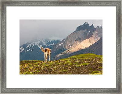 Guanaco - Patagonia Framed Print by Carl Amoth