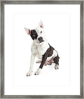 Guard Dog Pit Bull Over White Framed Print by Susan Schmitz