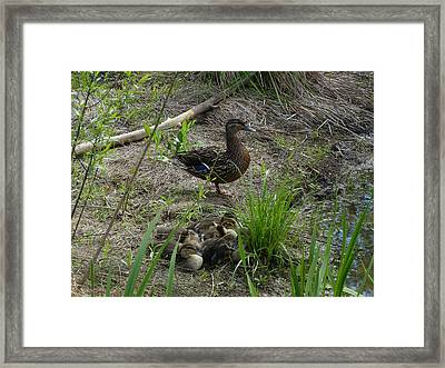 Guarding The Ducklings Framed Print by Donald C Morgan