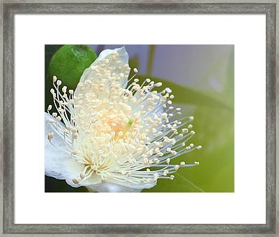 Guava Blossom Framed Print by Carl Clay