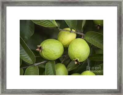 Guava Fruit Framed Print by Inga Spence
