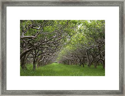 Guava Kai Plantation Framed Print by Dave Pattinson