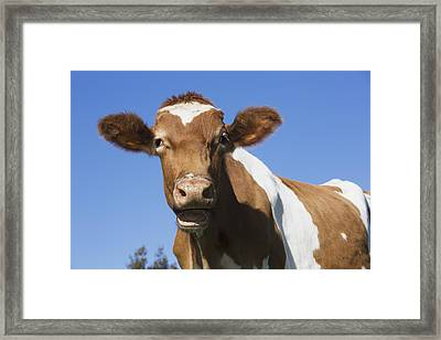 Guernsey Dairy Cow  Granby Framed Print