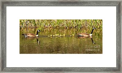 Guiding The Goslings Framed Print by Adam Jewell