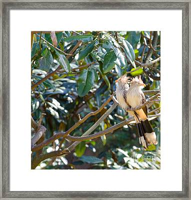 Guira Cuckoo Framed Print by Donna Brown