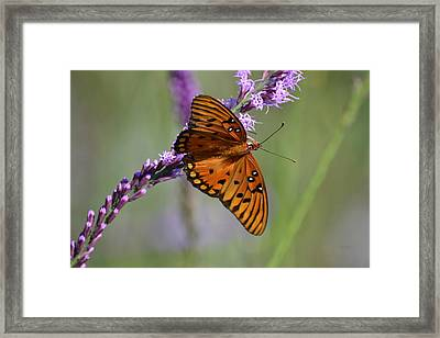 Gulf Fritillary Butterfly On Liatris Framed Print