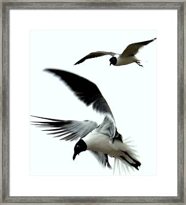 Framed Print featuring the photograph Gulf Gulls by Antonia Citrino