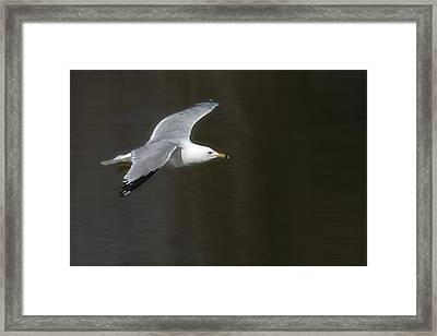 Gull - Goeland Framed Print