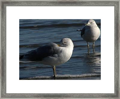 Gull At Rest Framed Print by Charles Shedd