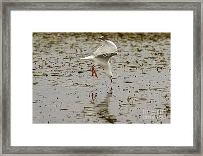 Gull Fishing 01 Framed Print
